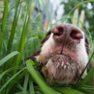 Animal and Pet Repair Lawn Seed