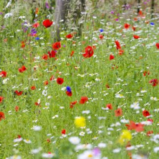 Wild Meadow Wildflower Mix wildflowers seed Wild Meadow Wildflower Mixtures maintenance