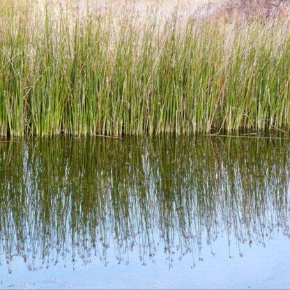 Wetland Pond Edge Wildflower Mix